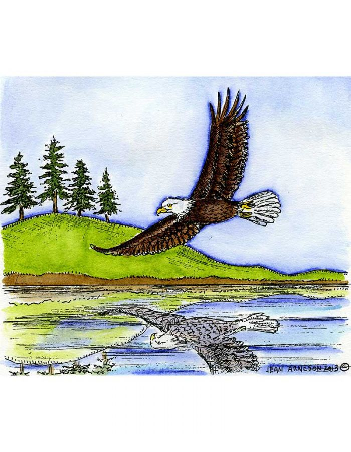 Soaring Eagle Over Water With Pines - P9050