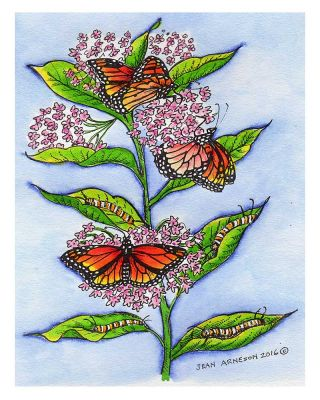 Monarchs on Milkweed - P9925